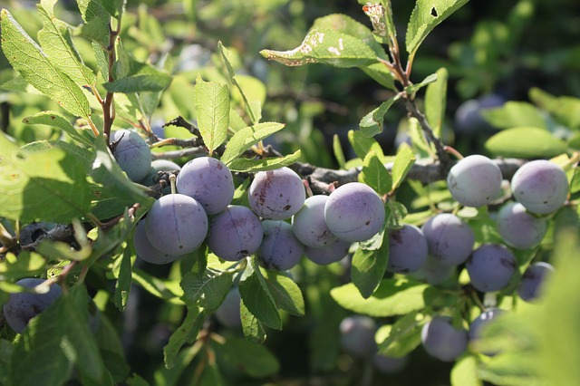 berries-87380_640